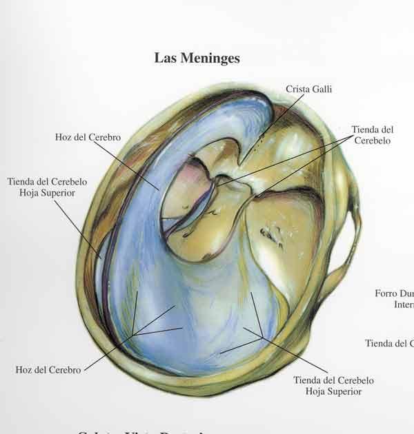Meninges - Anatomía del sistema nervioso y organos de los sentidos