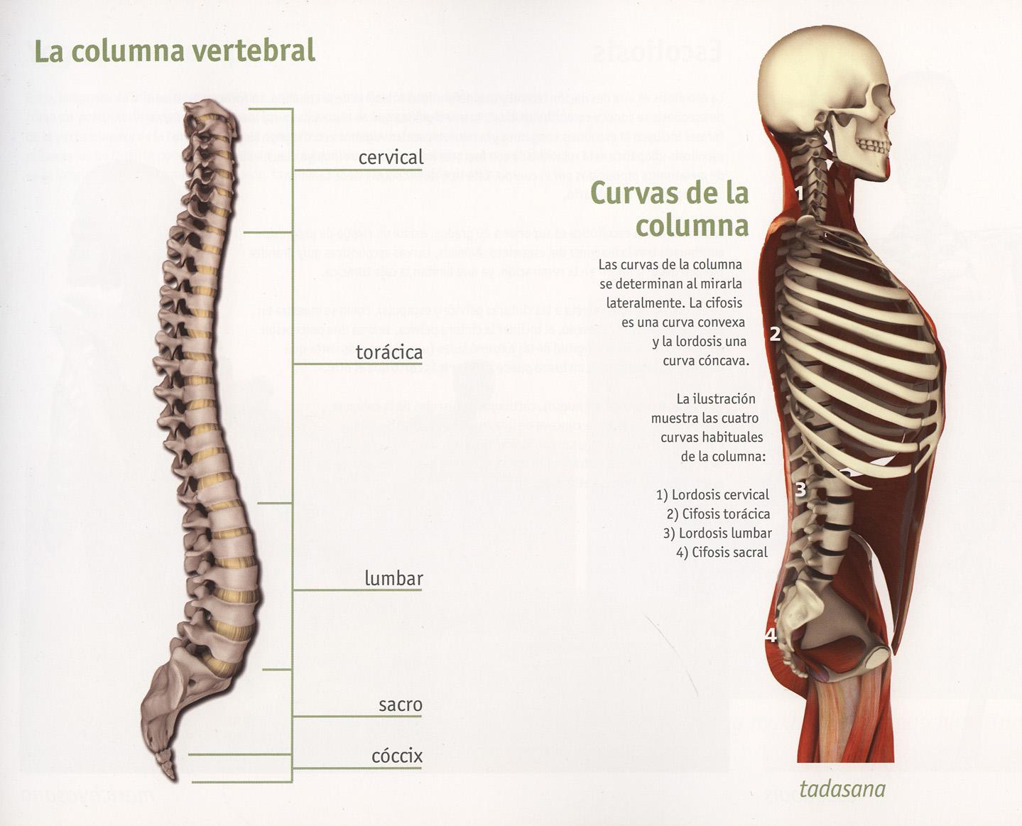 004f_La_columna_vertebral.jpg