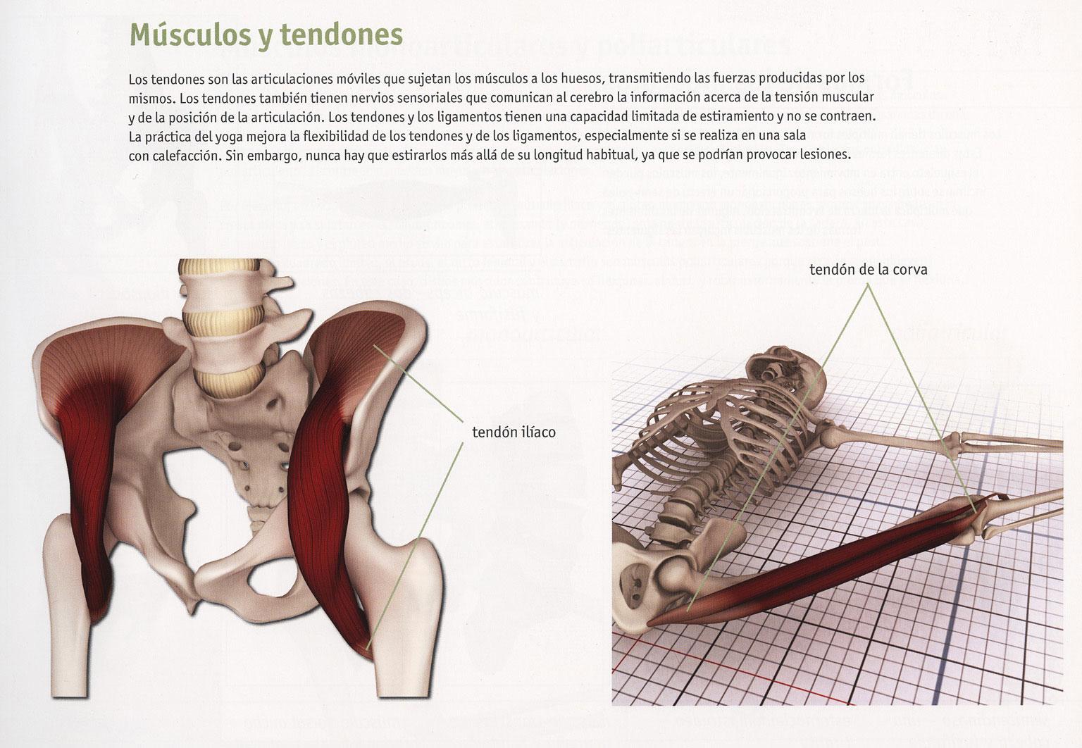 Contemporáneo La Anatomía Del Tendón De La Corva Bandera - Imágenes ...