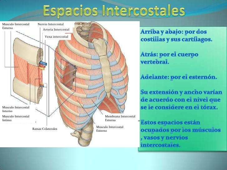 Los músculos intercostales durante la inspiración - VENTILACIÓN ...