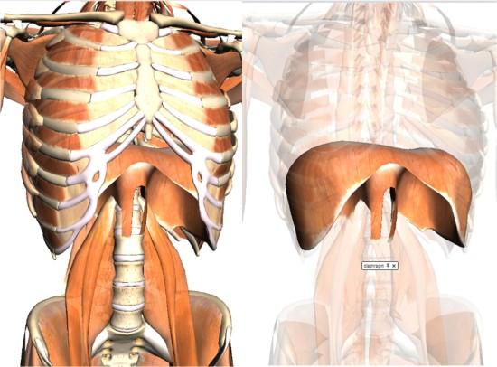 Músculos de la respiración