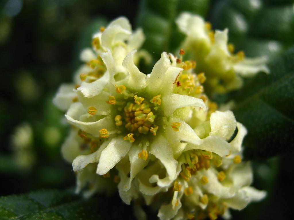 Boldo Planta Medicinal Related Keywords - Boldo Planta